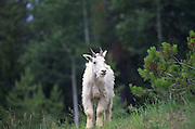 Dall Sheep, Icefield Parkway, Alberta, Canada<br />