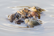 Common toads (Bufo bufo) spawning. Bookham Common, Surrey, UK. After emerging from hibernation in early spring, toads migrate back to their breeding ponds. Males fight to secure mates and often outnumber the females at some sites. When this happens the female may be grasped by several males in a position known as 'amplexus' as they attempt to fertilise her eggs. The common toad is widespread in Surrey, however populations appear to be declining. Where toad migration routes cross busy roads there can be many fatalities and local conservation groups like SARG police 'Toad Crossings' at dusk to help them safely across.