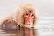 JAPAN, Jigokudani Yaen-koen, Nagano (Honshu).Juvenile Snow monkey (Macaca fuscata)