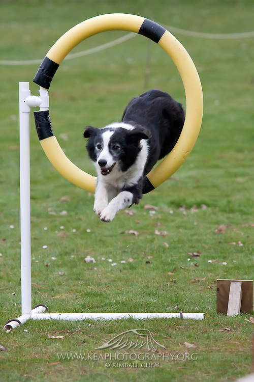 Dog Agility Trial, Invercargill, Southland, New Zealand