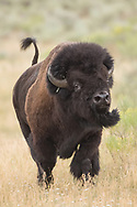 An amorous bull bison, chases a cow during the summer rut.  With tail up and head held high all other bulls in the area knew to steer clear of this big fellow.