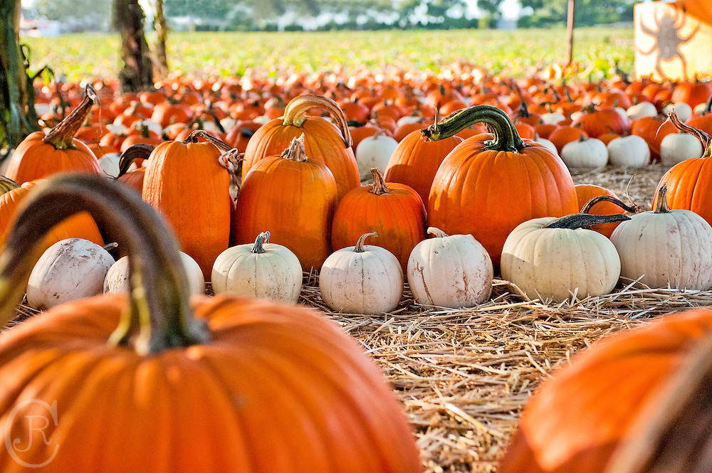 Pumpkins are ready to be carved for the holiday.