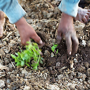 Bolivia. Copacobana. A papya seedling is planted on the camellones of Loma Suarez