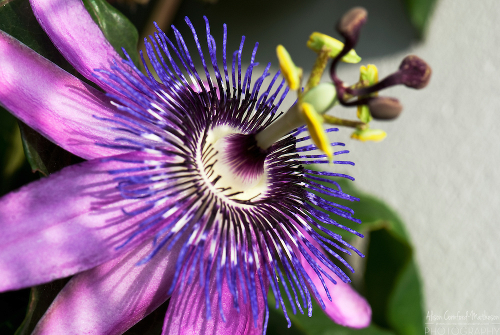 passion flower vine passiflora  alison cornfordmatheson, Beautiful flower