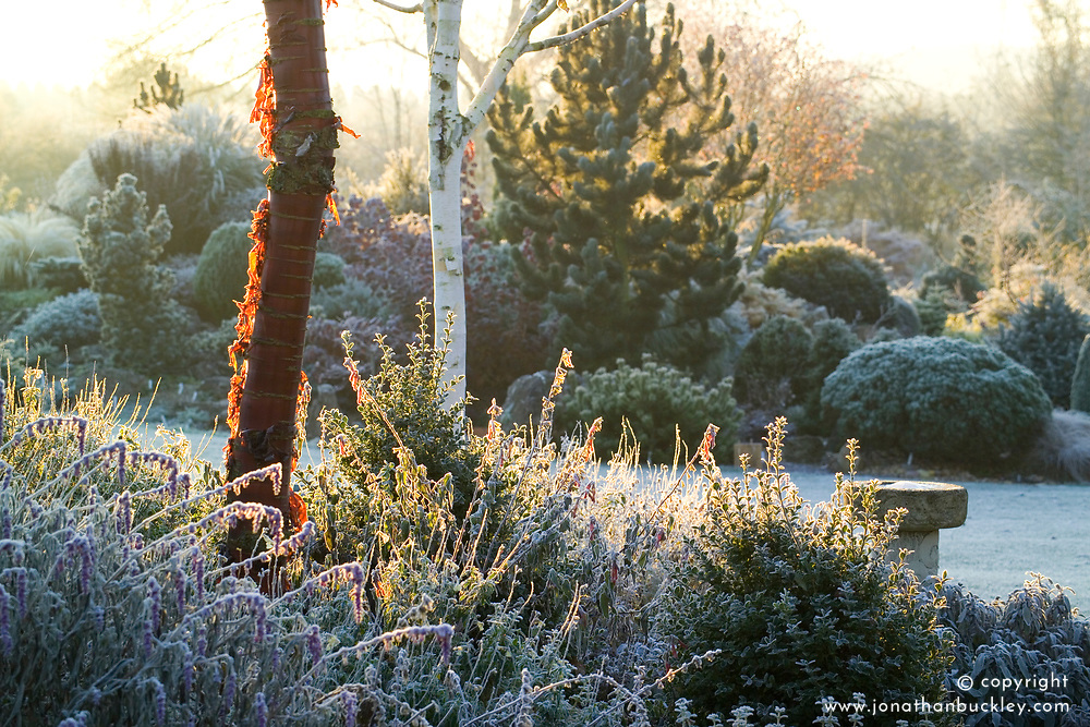 Dawn on a frosty winter's morning in John Massey's garden with the bark of Prunus serrula (Cherry) and Betula utilis var. jacquemontii (Silver birch) in the foreground. Conifers on the rock garden beyond