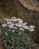 Daisy wildflower in Rocky Mountain National Park. Image taken with a Nikon D2xs camera and 105 mm f/2.8 VR macro lens.