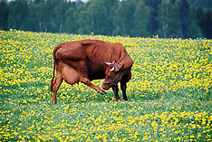 Estonia-Agriculture-Animals-Stock-Photos-Pictures