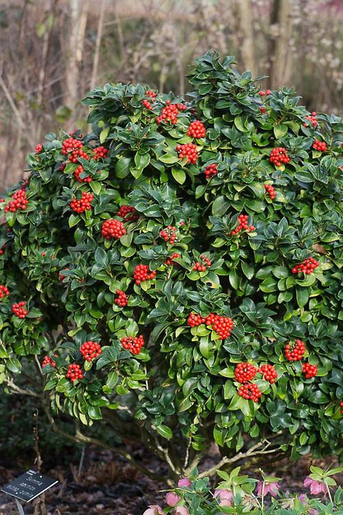 Skimmia japonica subsp. pumila