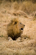 An adult male lion in the bush of the Madikwe Game Reserve, South Africa.