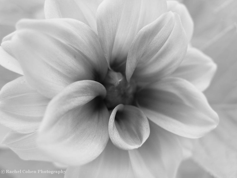 &quot;Through Time&quot;<br /> <br /> Pure delicate Dahlia beauty in shades of gray!<br /> <br /> Flowers by Rachel Cohen