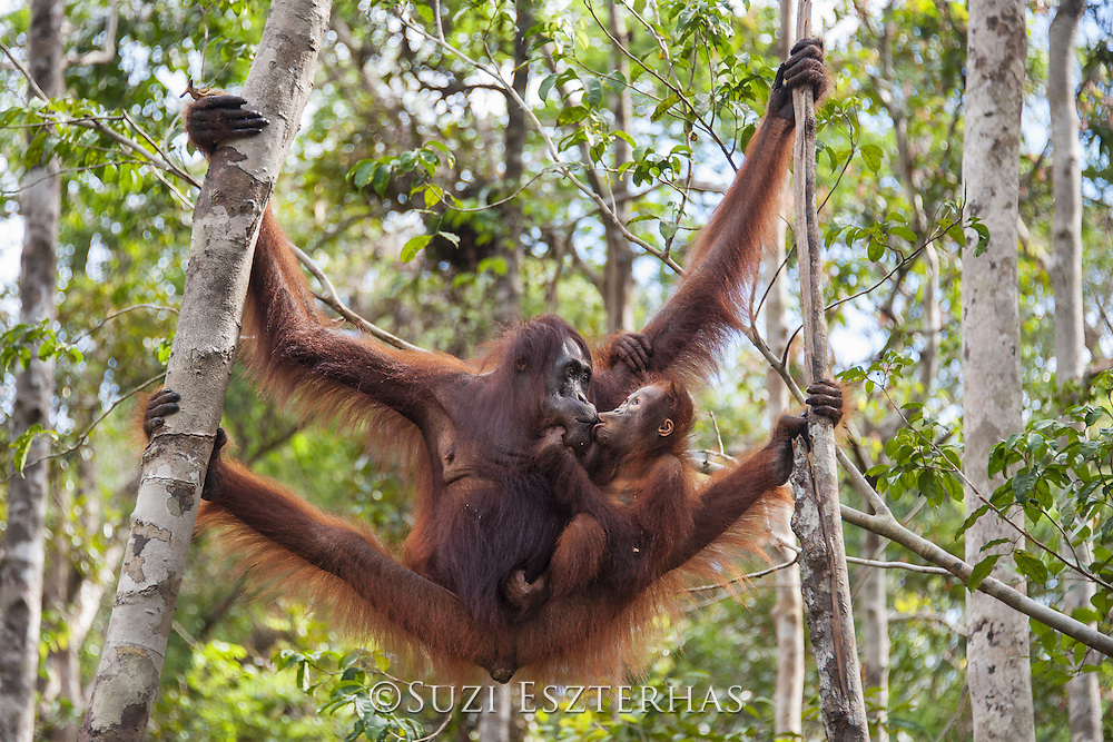 Bornean Orangutan <br /> Pongo pygmaeus<br /> Two-year-old baby eating food from mother's mouth<br /> Tanjung Puting National Park, Indonesia