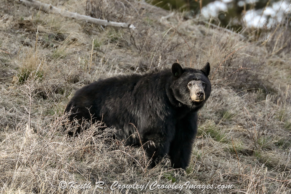 Black bear with unusual hair loss on face.