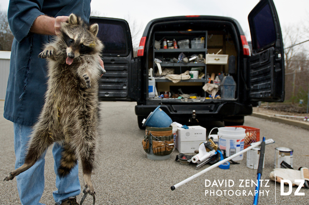 A tranquilized raccoon is held by shelter services coordinator Bill Motteler after he helped painter Brian Coon remove the animal from the back of his paint van. Legally, since the animal cannot be released within close proximity to where it was discovered, it must be put to sleep. In addition to dogs and cats, the PAWS shelter must accept any animal that comes its way, including skunks, deer, rats, hamsters and birds, to name a few.