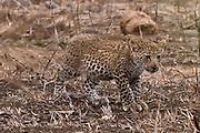 Leopard, baby, Kruger National Park, Africa