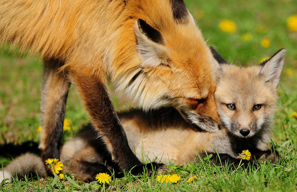This mother fox nuzzles one of her six kits. Both mother and father will care for their kits through summer until they are ready to strike out on their own in fall.