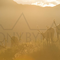 bull elk in velvet feeding in tall grass