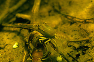 Rusty Crayfish<br /> <br /> ENGBRETSON UNDERWATER PHOTO