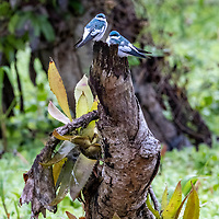 A pair of white-winged swallows perch on a branch above Belluda Creek off the Ucayali River in the Pacaya-Samiria National Reserve of the Peruvian Amazon.