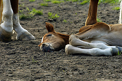 Sleeping foal<br /> © Dirk Caremans