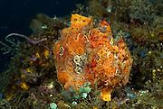 Painted frogfish (Antennarius pictus) - They are mostly bottom-dwelling fishes that are well camouflaged; they employ the first dorsal spine as a fishing lure to attract prey. | Gemalte Anglerfisch (Antennarius pictus) er wird auch Rundflecken-Anglerfisch genannt. Anglerfische leben im flachen Wasser tropischer und subtropischer Meere. Sie sind schuppenlos und zeigen als typisches Merkmal eine aus dem ersten Hartstrahl der Rückenflosse gebildete ?Angel? (Illicium) mit anhängendem Köder (Esca)  |