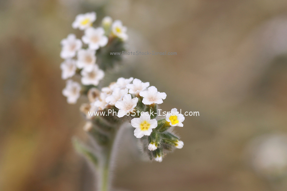 Heliotropium curassavicum is a species of heliotrope that is native to much of the Americas, from Canada to Argentina, and can be found on other continents as an introduced species. Photographed in Israel in October
