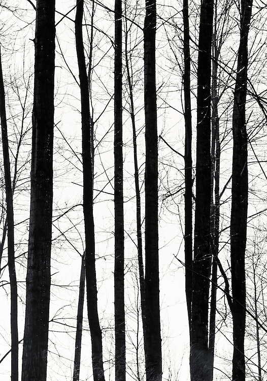 """Black Line Trees"" - Fine Art Limited Edition Print. 20 Prints. Tree trunks and branches in Winter, Central Cascades along Highway 2, Washington."
