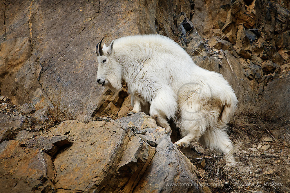 Mountain Goat Moving Across Rock Ledges South Of Jackson Hole WY
