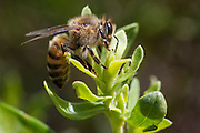 Bambui_MG, Brasil.<br /> <br /> Abelhas retirando a resina na plantacao de alecrim dourado (Rosmarinus officinalis) para a producao de propolis verde em Bambui, Minas Gerais.<br /> <br /> Bees removing the resin in the rosemary (Rosmarinus officinalis) plantation for production of green propolis in Bambui, Minas Gerais.<br /> <br /> Foto: ALEXANDRE MOTA / NITRO