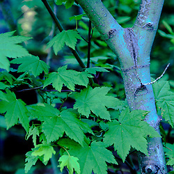 Tree and Leaves, Mt. St. Helens National Volcanic Monument, Washington, US