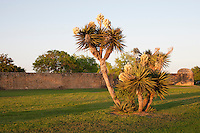 Yuccas at Mission San Jose, San Antonio, TX