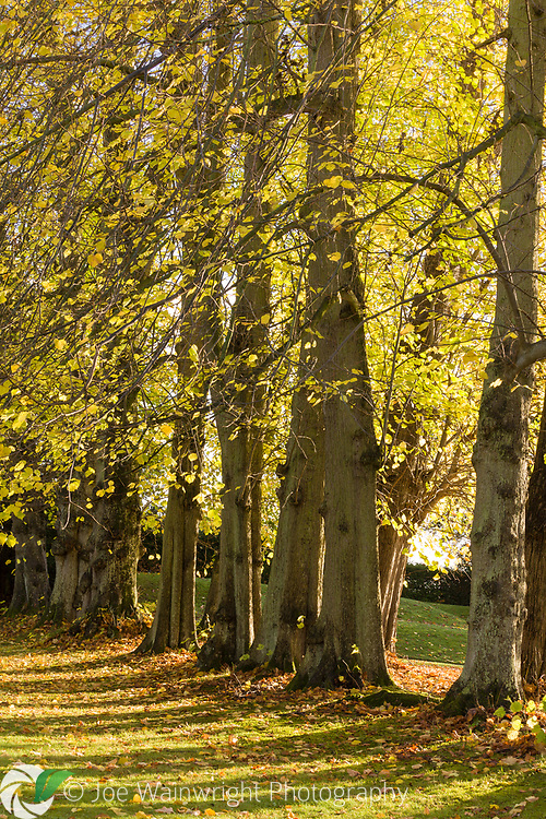 Lime trees in the avenues that line the canal at Erddig Hall, Wrexham, photographed in Autumn
