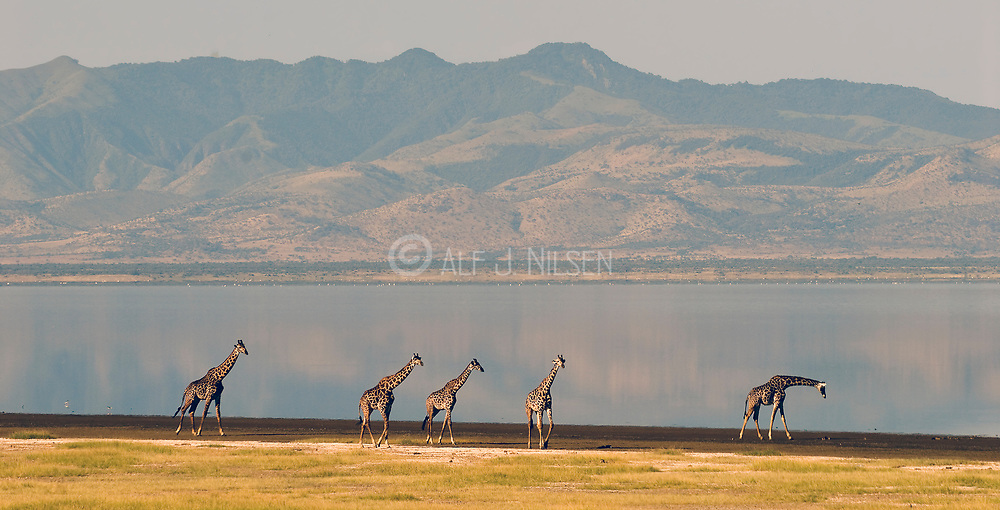 Five Masai Giraffs (Giraffa camelopardalis) walking on the beach of Lake Manyara National Park, Tanzania
