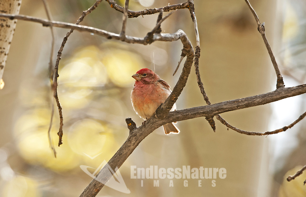 Male House Finch gathering grasses for its nest in the northern Utah Mountains.