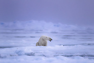 A polar bears yawns after waking up from its slumber on the ice, in the high arctic islands of Svalbard.