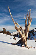 A bristlecone pine grows from a desolate, snowy mountainside, White Mountains, CA