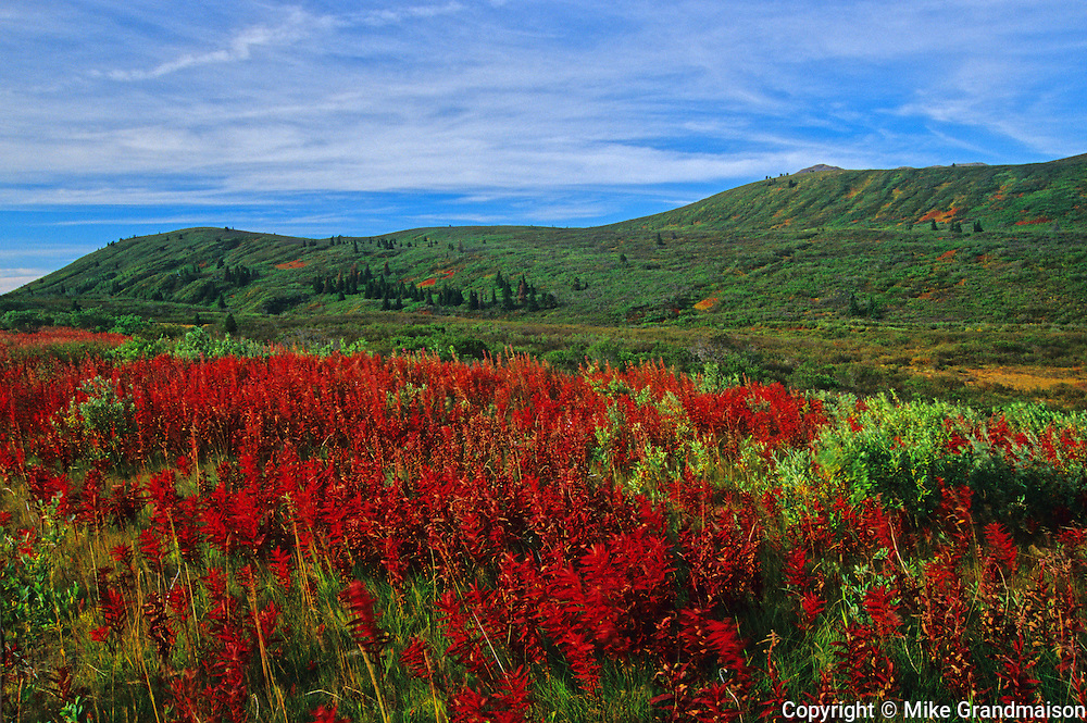 fireweed in autumn color<br /> Setat Creek in northern BC<br /> British Columbia<br /> Canada