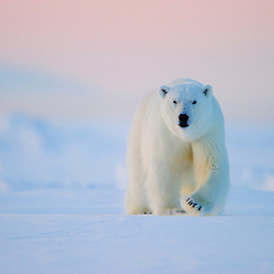 A polar bear patrols the sea ice along the coast of eastern Svalbard, Norway.