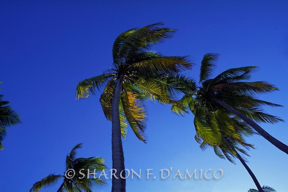 Coconut Palms and Deep Blue Sky
