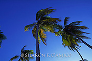 Coconut Palms and Deep Blue Sky