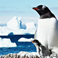 A photo of a mother Gentoo penguin with her baby chick in their nest.  It was taken in Antarctica.