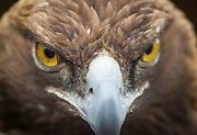 A 33-year-old female golden eagle from the Pueblo Raptor Center greets visitors to a special event at Old Bent's Fort.