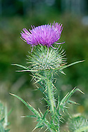 SPEAR THISTLE Cirsium vulgare (Asteraceae) Height to 1m<br /> Upright biennial with stems that are downy and spiny-winged between the leaves. Grows in grassland and on disturbed ground. FLOWERS are borne in heads, 2-4cm across, that comprise purple florets topping a basal ball coated with spiny bracts; heads are solitary or in small clusters (Jul-Sep). FRUITS have feathery pappus hairs. LEAVES are pinnately lobed and spiny. STATUS-Widespread and common throughout the region.