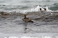 Eider, Cherry Beach, Nova Scotia, Canada