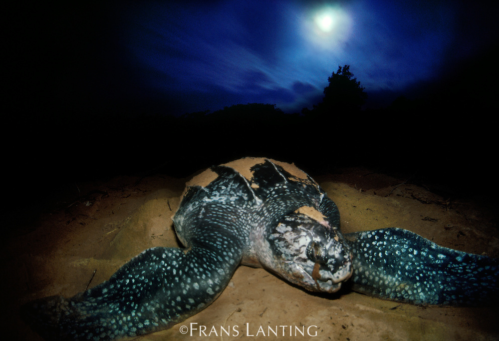 Leatherback sea turtle, Dermochelys coriacea, Surinam
