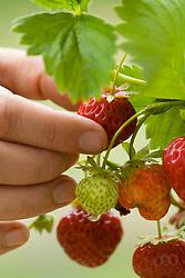 Picking 'Strawberry 'Cambridge Favourite' - Fragaria
