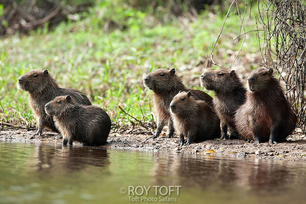 Group of capybaras sitting on the shoreline, Pantanal, Brazil