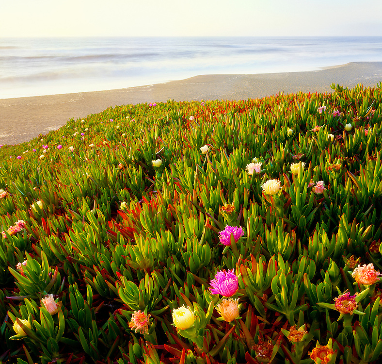 0608-1014 ~ Copyright: George H.H. Huey ~ Ice Plant [Carpobrotus edulis] in bloom at North Beach.  Point Reyes National Seashore, California.