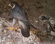 Nestling peregrine falcon, 27 days old, wails for food as adult turns away.  This nestling shows fully colored side of head, and body feathers replacing the down on its breast. © 2013 David A. Ponton