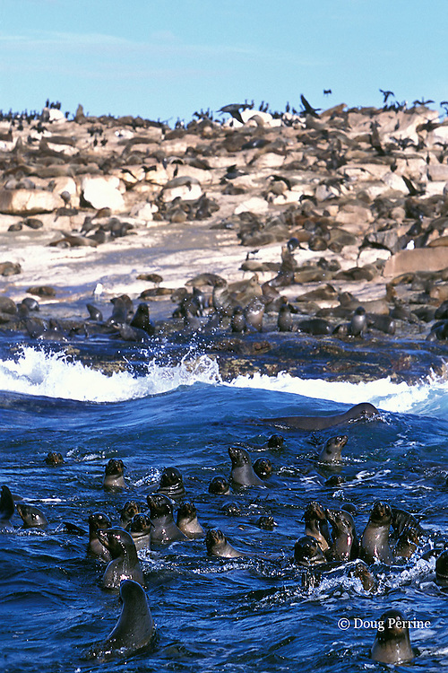 South African fur seals, Arctocephalus pusillus pusillus, <br /> Seal Island, False Bay, Cape of Good Hope, South Africa