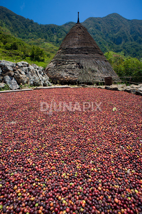 A traditional thatch-roofed home at Wae Rebo, Manggarai, Flores. Red coffee beans are laid out to sun dry.